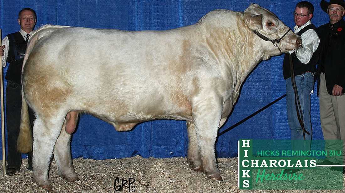 Hicks Charolais Herdsires - Hicks Remington 31U