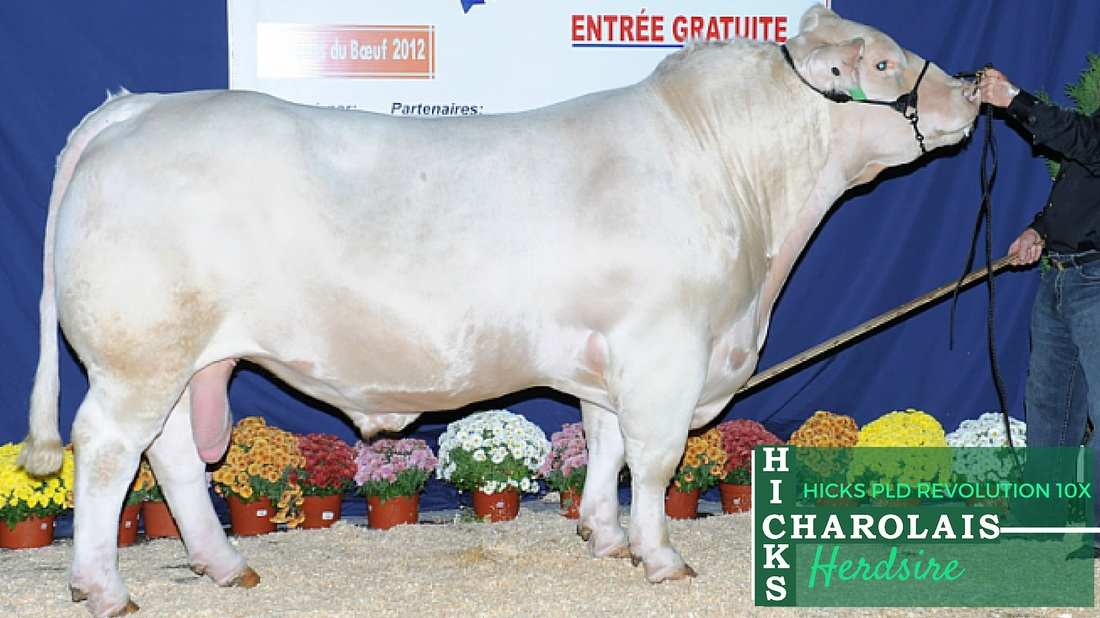 Hicks Charolais Herdsires - Hicks PLD Revolution 10X